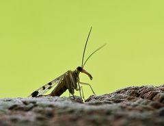 Skorpionsfliege im Gegenlicht