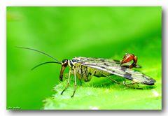 Skorpionsfliege - Panorpa communis