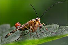 Skorpionsfliege_2