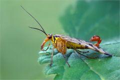 skorpionsfliege_4