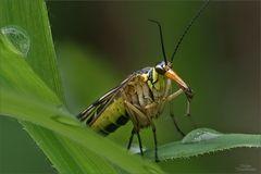 skorpionsfliege_5