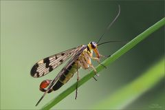 skorpionsfliege_8