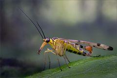 skorpionsfliege_9