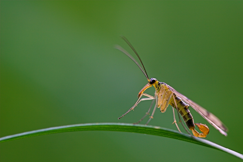 Skorpionsfliegenbock