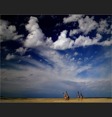 sky above giraffes