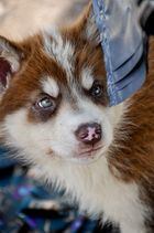 Sled-Dog-Puppy