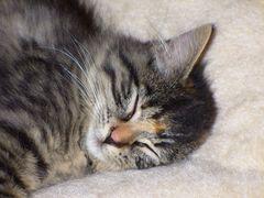 Sleeping Bagheera