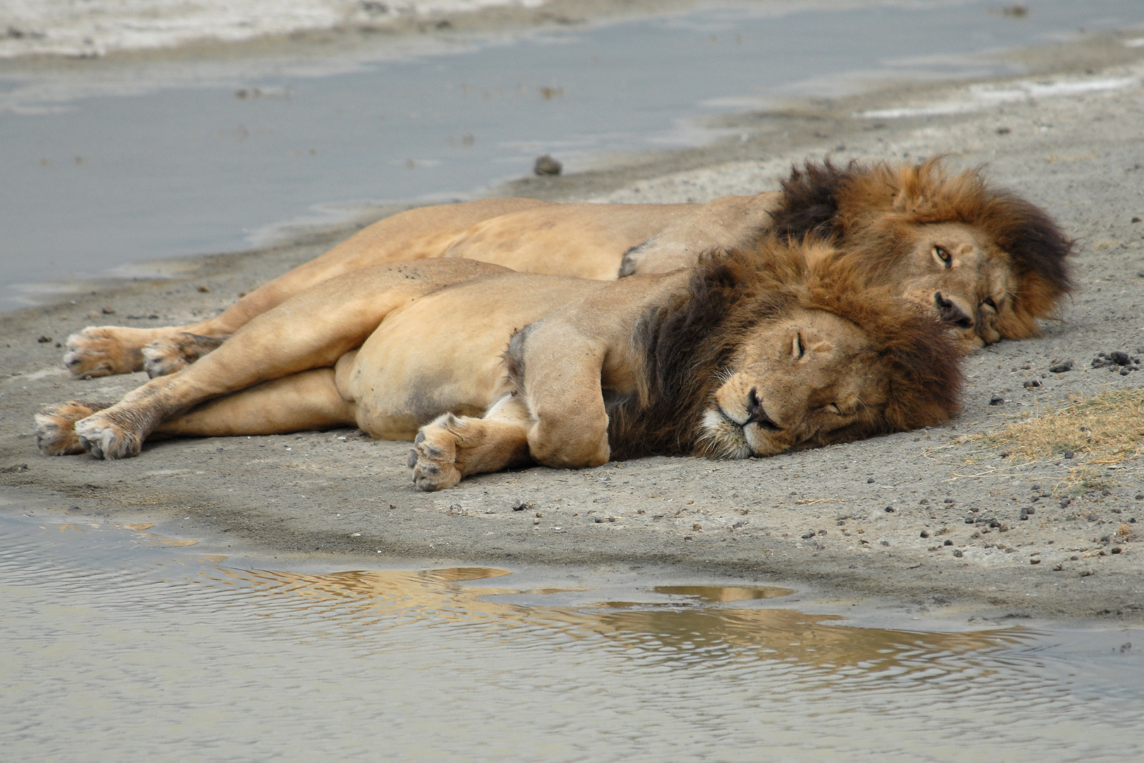 Sleeping Lion's in Ngorongoro