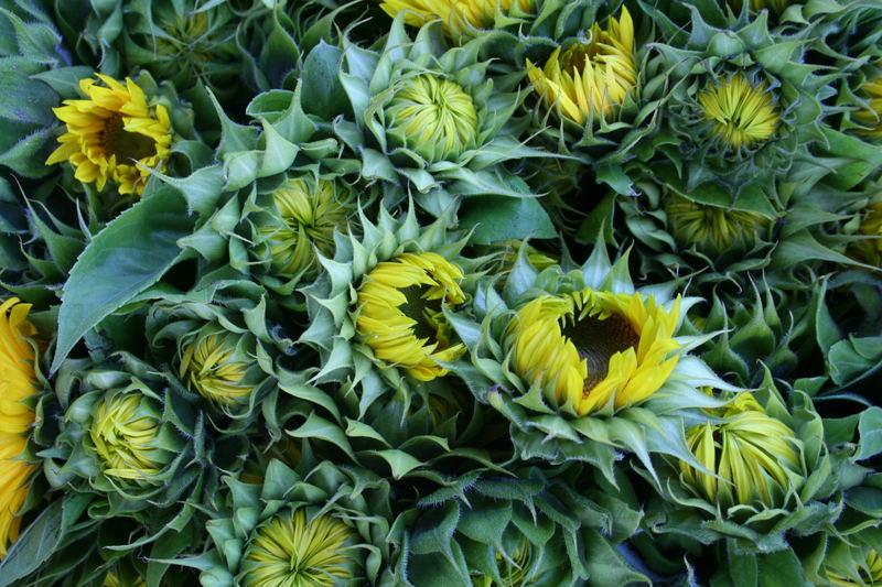 sleeping sun flowers