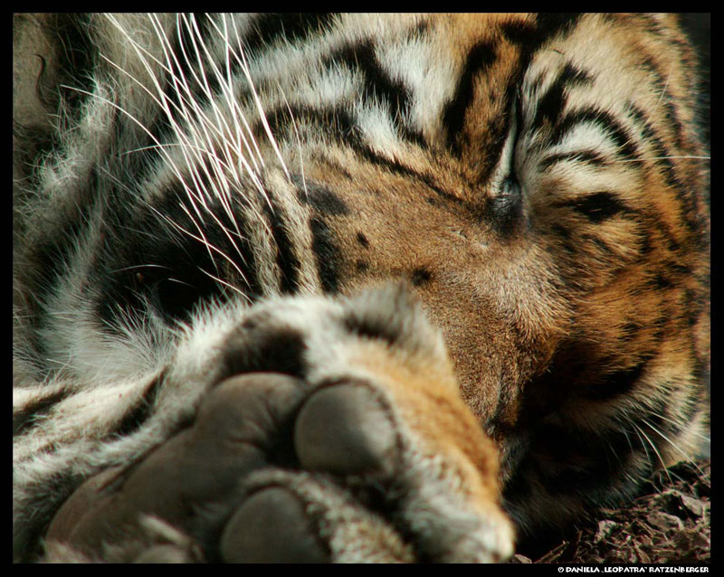 Sleeping Tiger Close Up