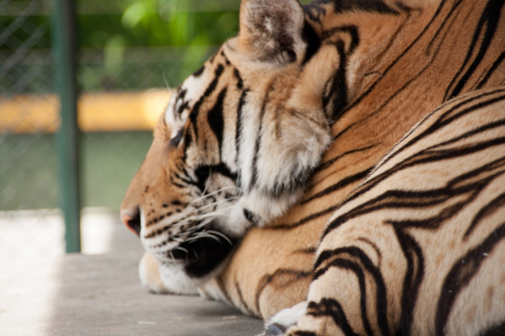 Sleeping Tiger Thailand