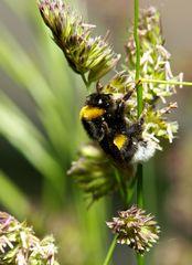 sleepy bumblebee