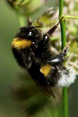 sleepy bumblebee, die 2te...