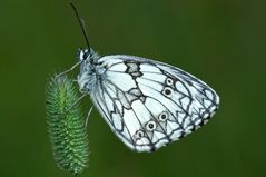 sleepy butterfly