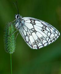 sleepy butterfly die 3. version ;o)