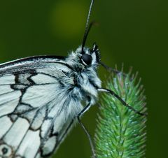 sleepy butterfly -head