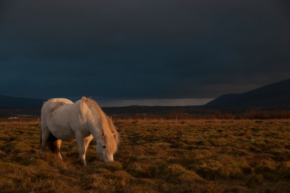 Íslesk hestur í Hvanneyri