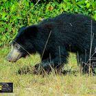 Sloth bear ( Melursus ursinus).