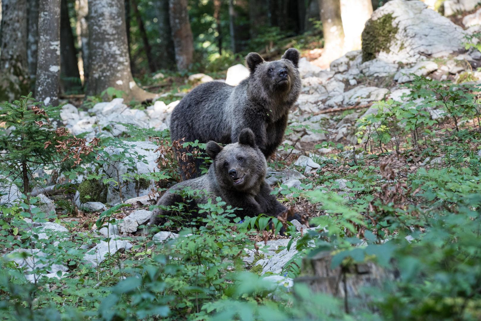 Slowenische Bären