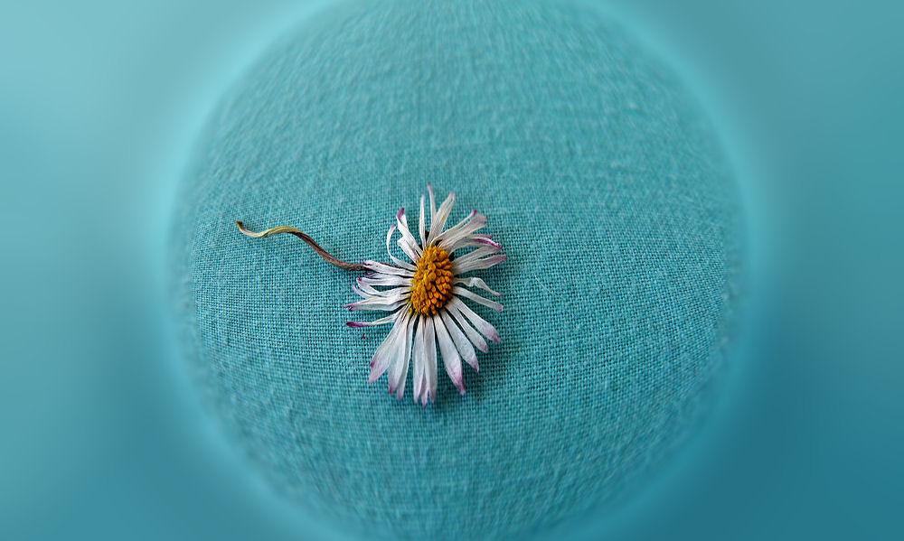 Small dried daisy
