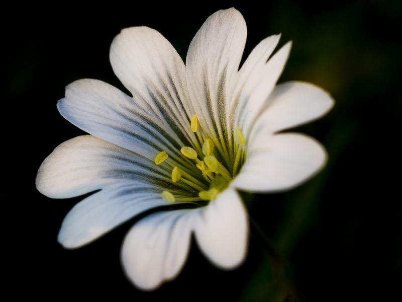 small dutch dune flower