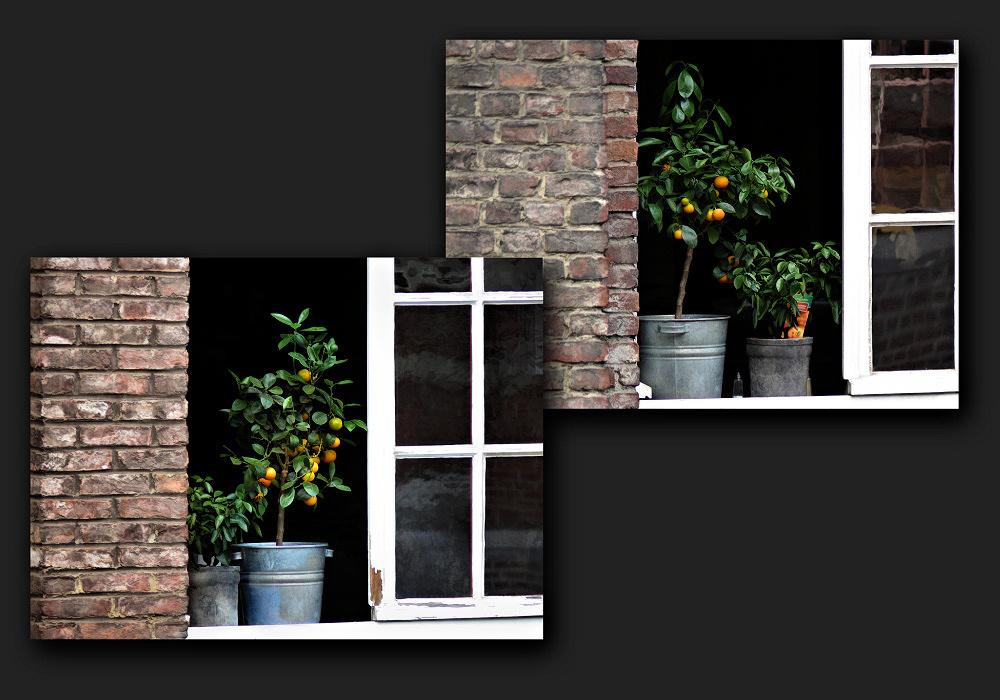 Small mandarin trees on the window sill