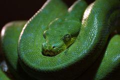 Smaragd Boa