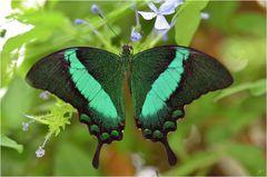 Smaragd Schwalbenschwanz