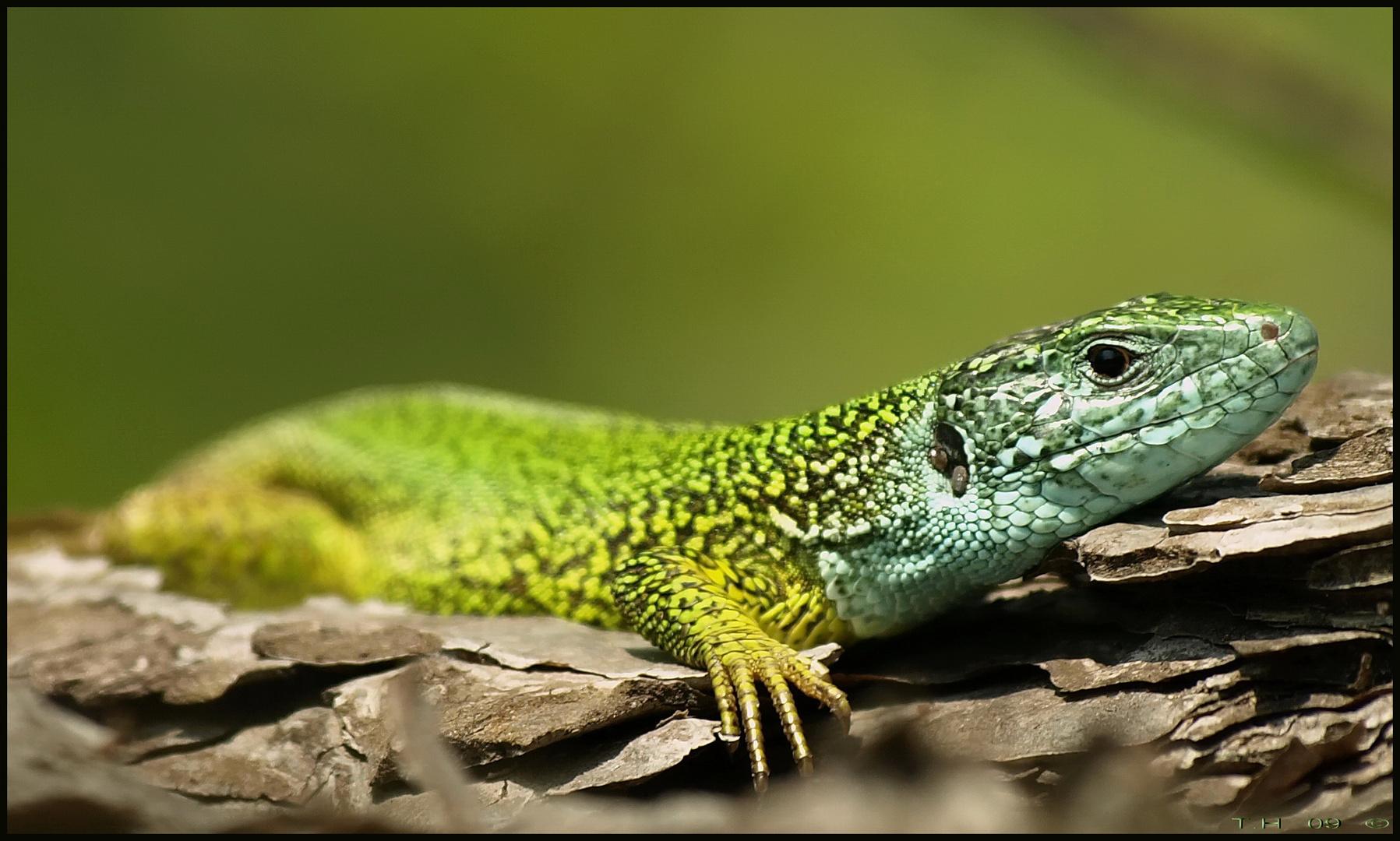 Smaragdeidechse, Lacerta viridis!