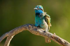Smaragdspint ( Merops orientalis )