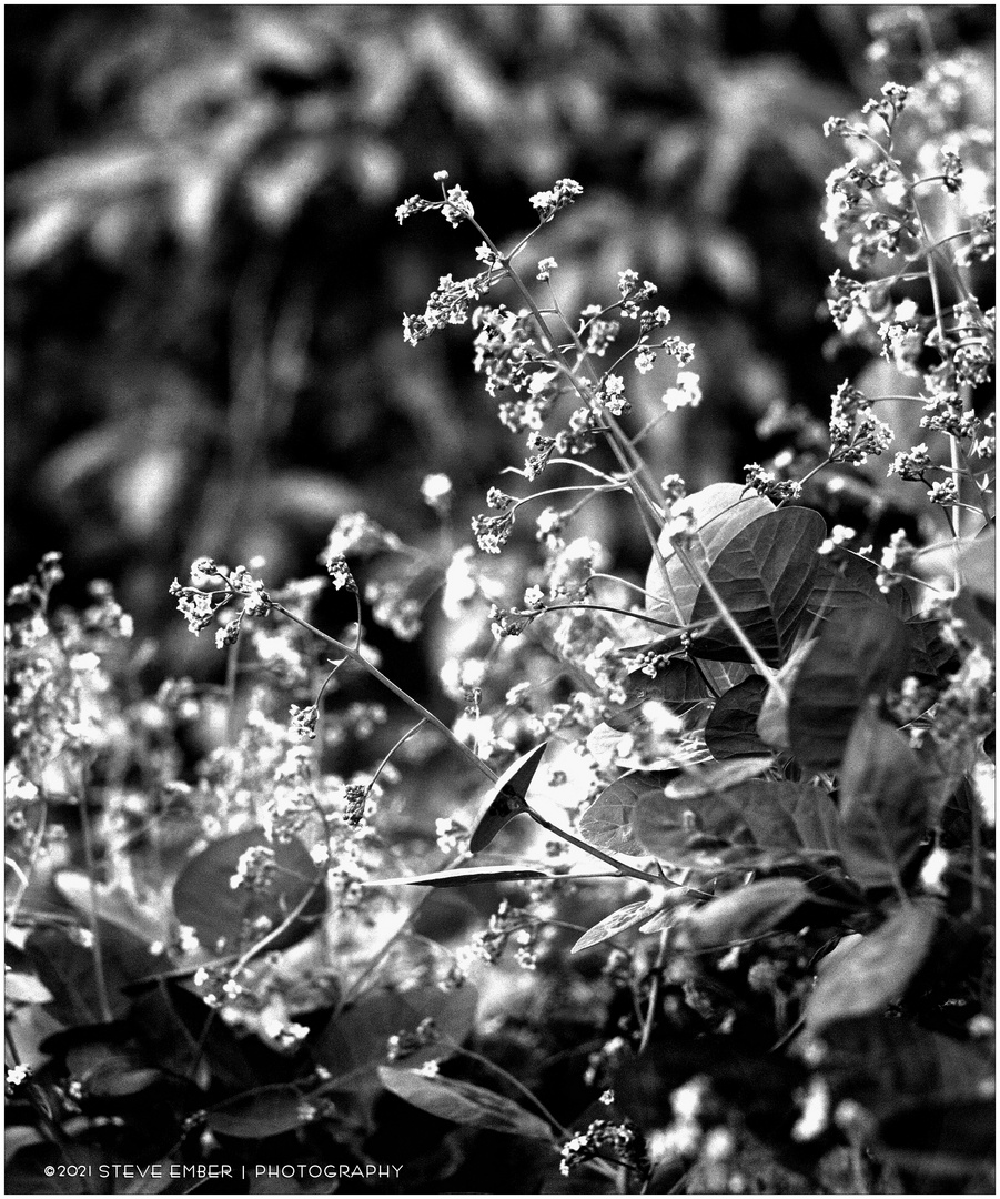 Smoke Tree Blossoms in Springtime