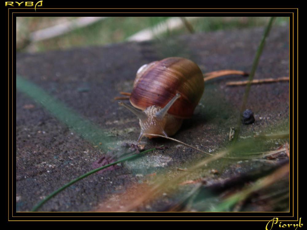 snail ślimak