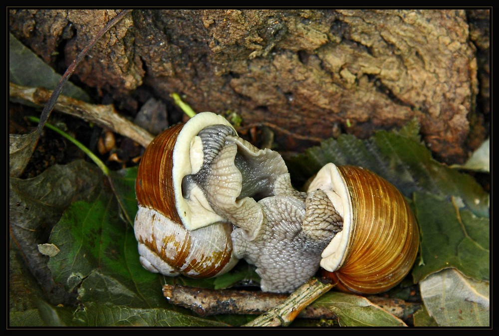 Snail fusion