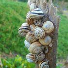 Snails in Kenitra