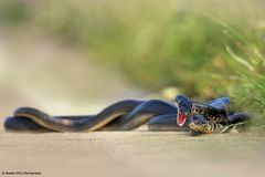Snake in Love