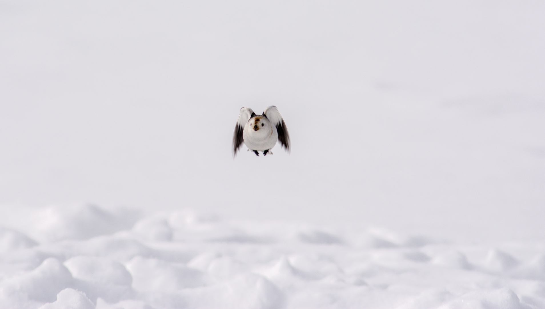 Snow bunting with style