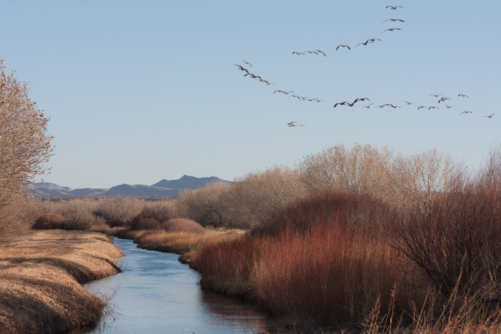 Snow geese over the bosque