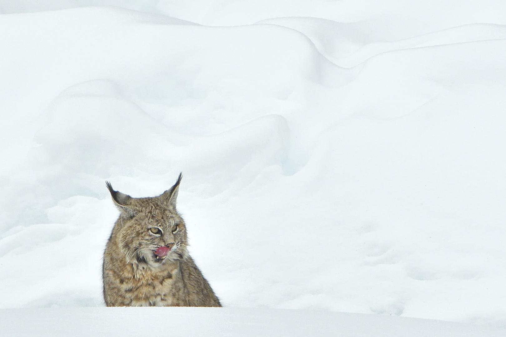 Snow Landscape with Bobcat