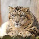 Snow Leo