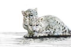 Snow Leopard...