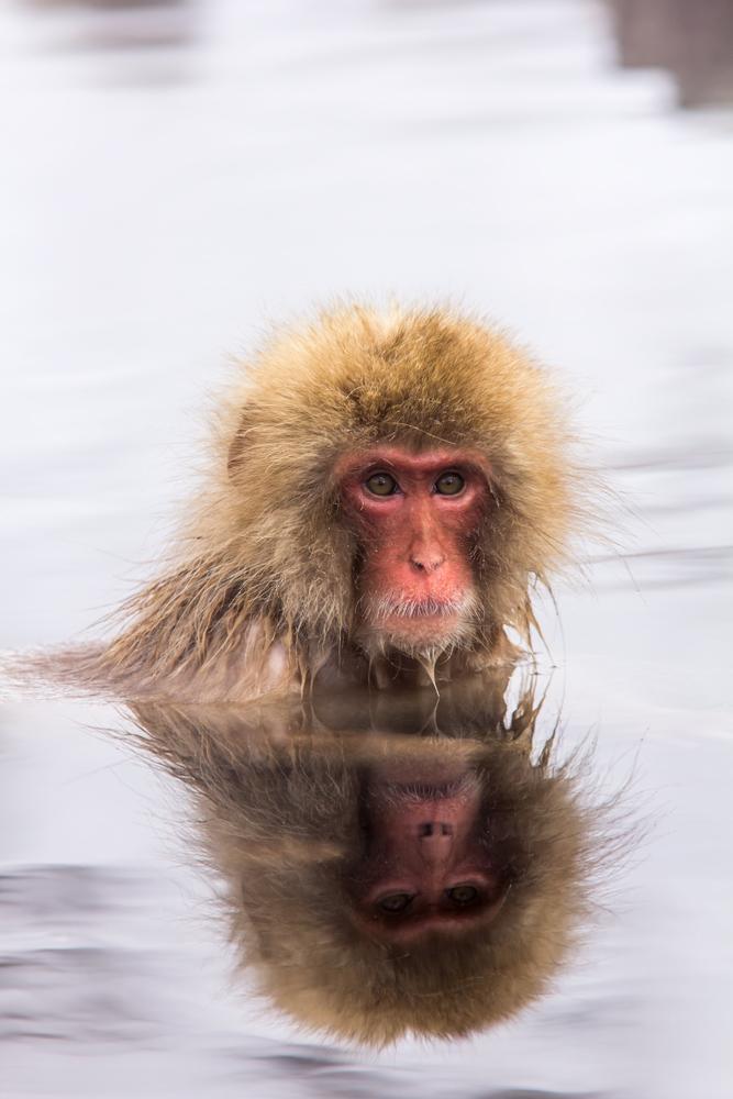 Snow Monkey chillt im warmen Wasser