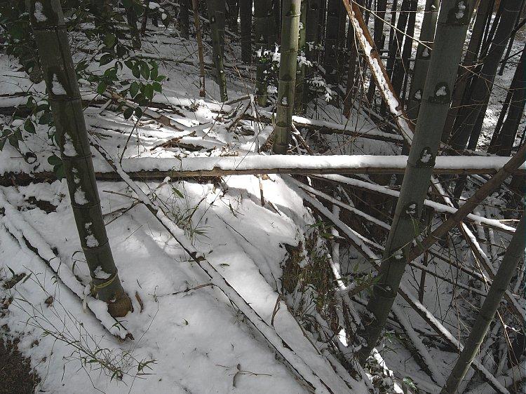 Snow on bamboo grove