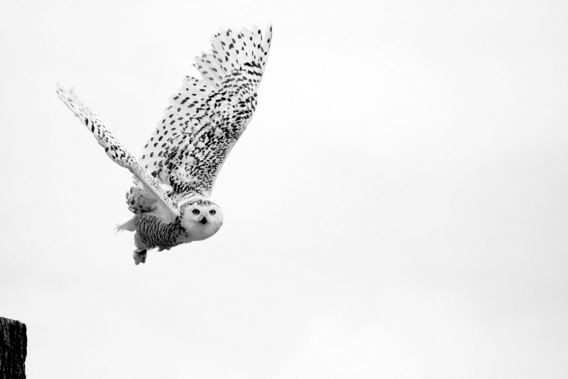 Snow Owl Hedwig