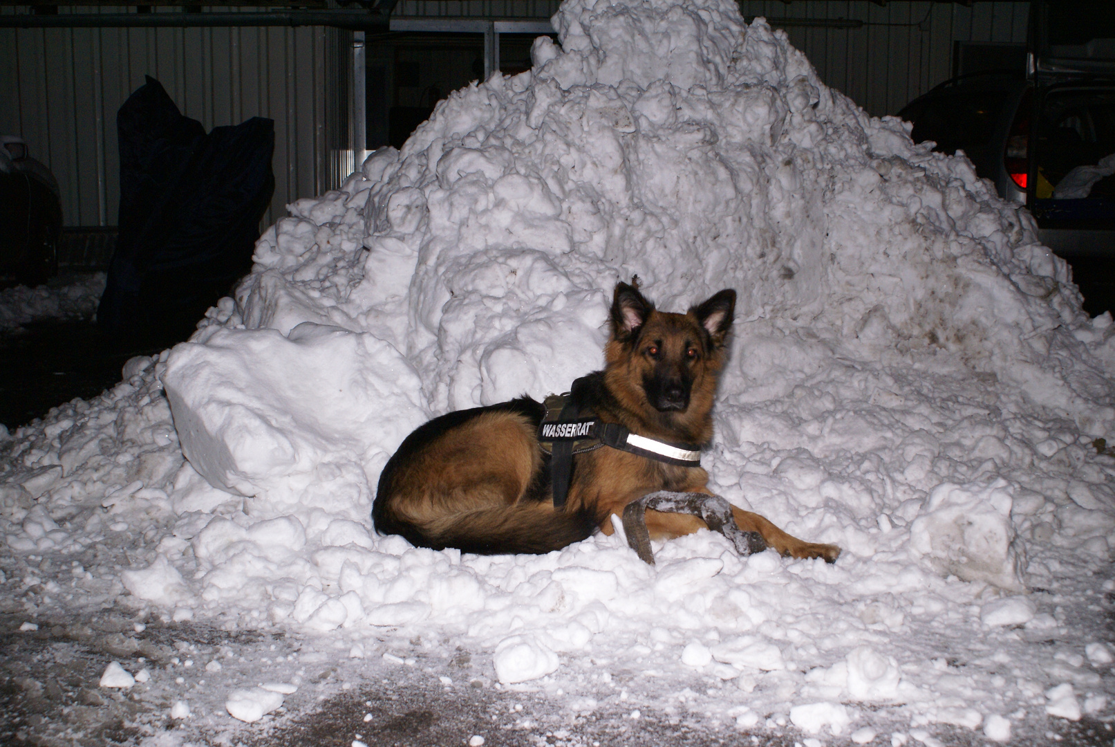Snowdog Alegra