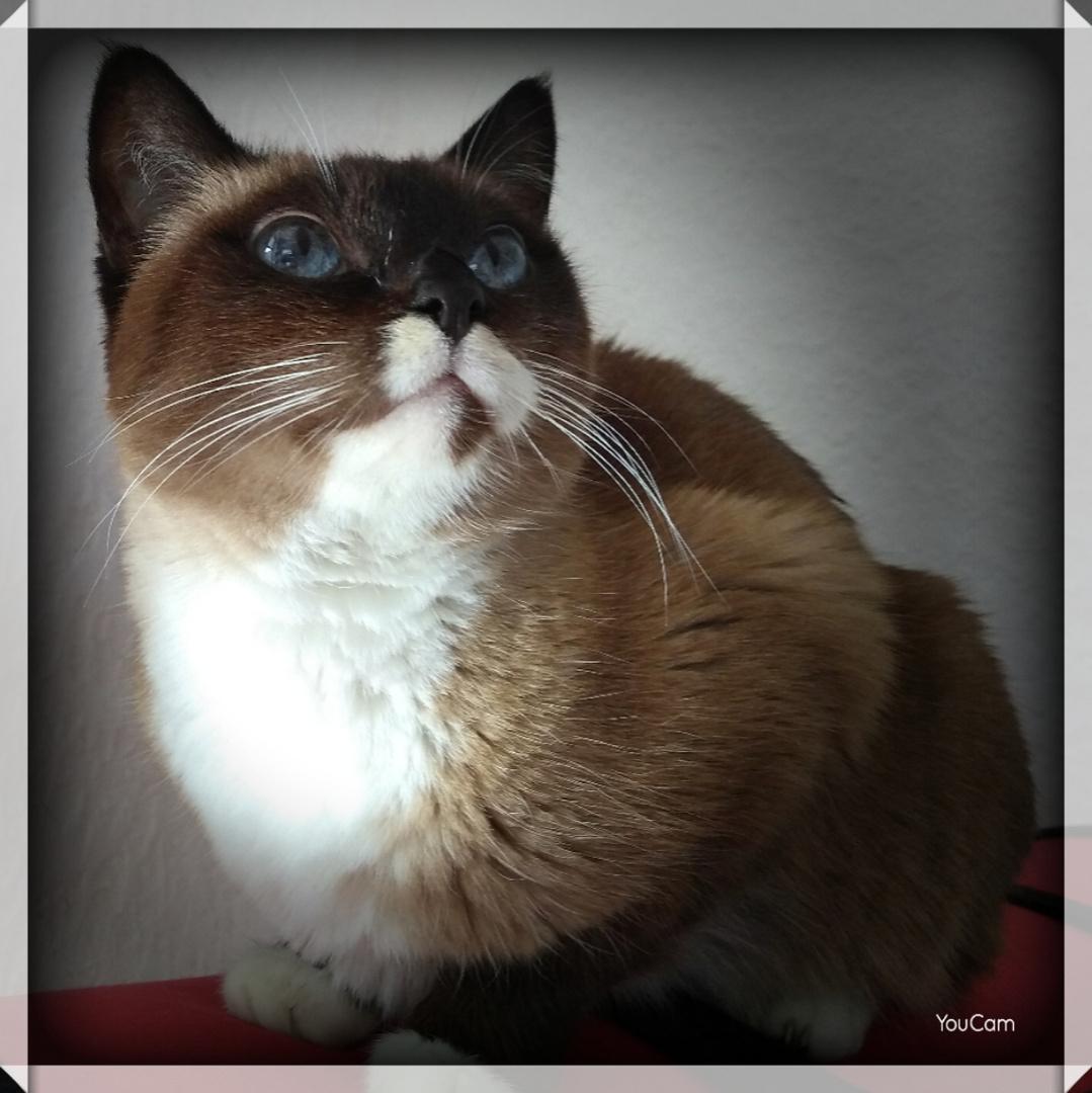 Snowshoe Katze(1)