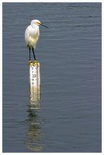 Snowy Egret....