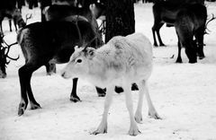 Snowy-White