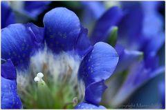 So blau blüht der Enzian, oder ...