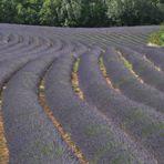 So blau blüht der Lavendel in der Provence.