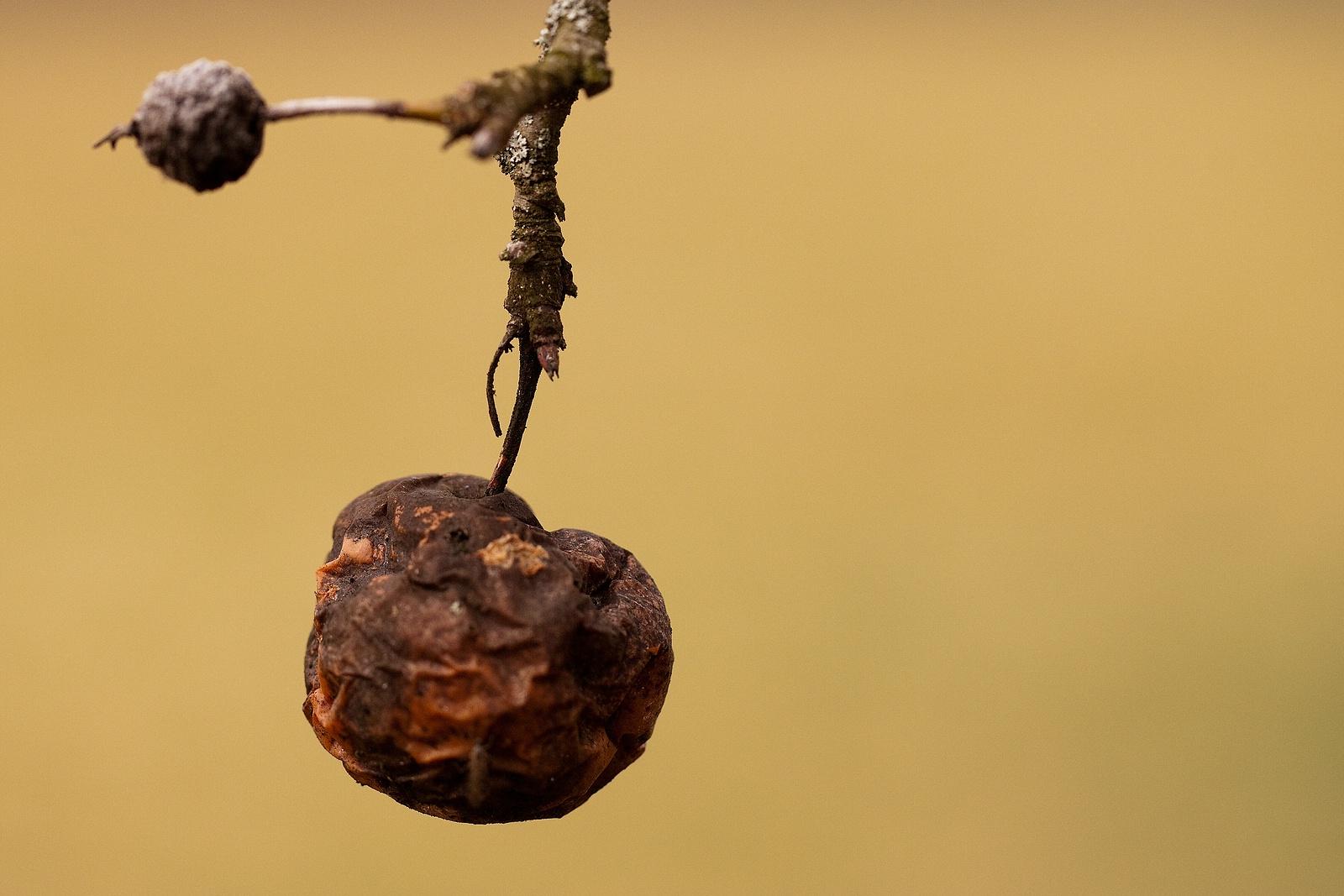 So ein alter schrumpeliger Apfel